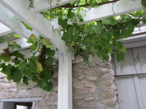 Grapes in Prince Edward County